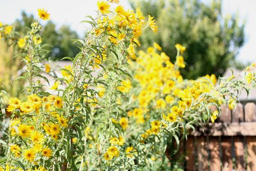 Sunflower season web