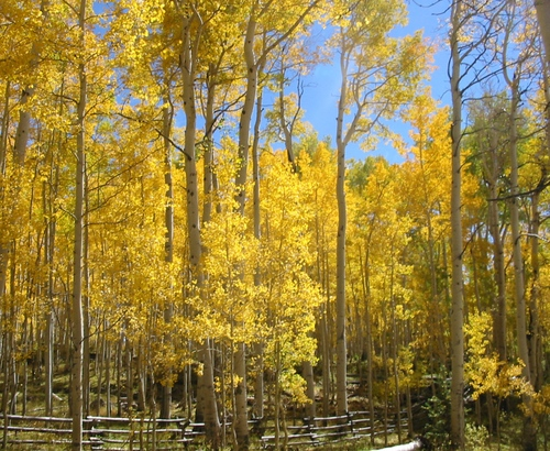 Aspen_grove_at_warner_lake